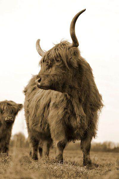 Schotse hooglanders kikkerperspectief sepia van Sascha van Dam