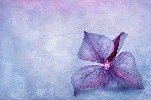 Hydrangea bloemblaadje