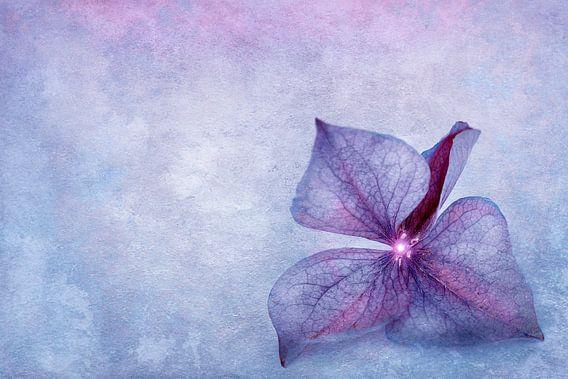 Hydrangea bloemblaadje van INA FineArt