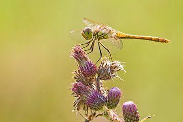 Steenrode Heidelibel op kaardebol distel van Jeroen Stel