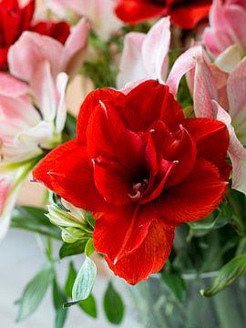 amaryllis bloemen in rose en rood van Compuinfoto .