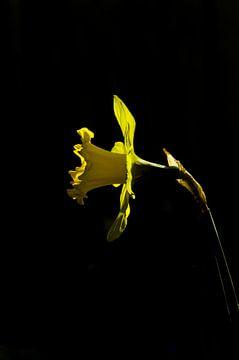 Gelbe Narzisse von Arthur Hooijer
