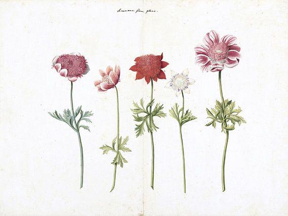 Vijf studies van anemonen - ca. 1760