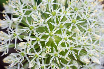 Frische Farben der Zwiebelkugel / Allium. von Robbert De Reus
