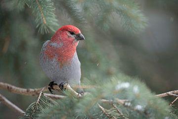 Hakengimpel ( Pinicola enucleator ) im Winter, frontal fotografierte Aufnahme eines männlichen Vogel von wunderbare Erde