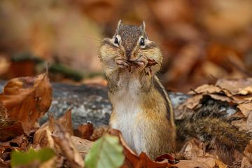 Sibirisches Erdhörnchen in Herbststimmung von Amanda Blom