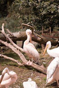Roze pelikaan van