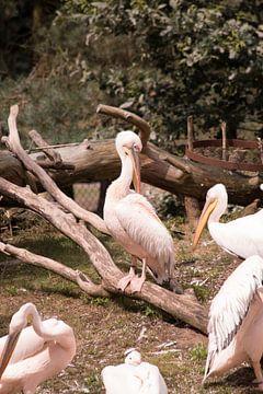 Roze pelikaan sur Thamara Janssen