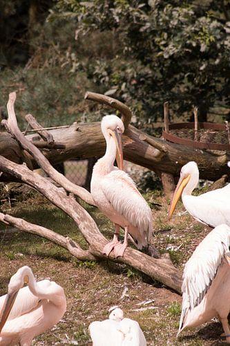 Roze pelikaan von Thamara Janssen