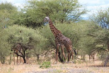giraffen van Roger Hagelstein