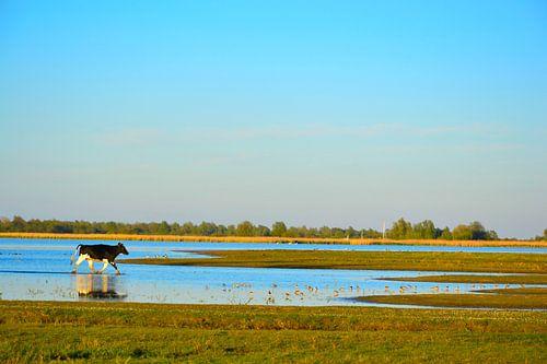 Rennende jonge stier in het water, Lauwersmeer, Ezumakeeg