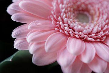 roze gerbera van Kristof Ven