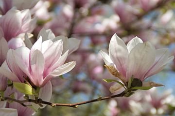 Oliwa Park Gdánsk Magnolia chinois / Magnolia × soulangeana sur Maurits Bredius