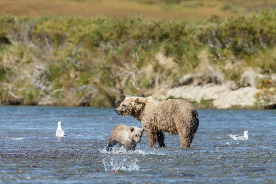 Een moeder grizzly beer en haar in het voorjaar geboren jongen lopen langs de rivier