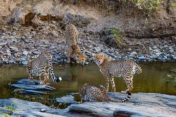 4 cheetahs a. water van Peter Michel