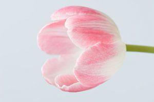 Eenvoudige Roze tulp