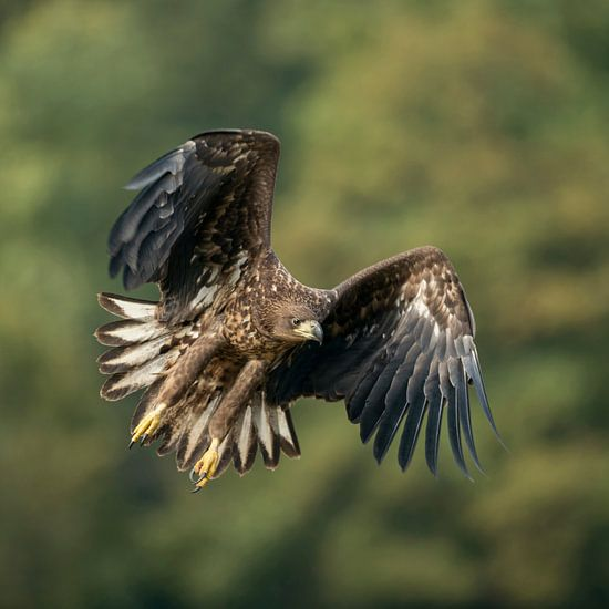 in powerful flight... White-tailed Eagle *Haliaeetus albicilla*