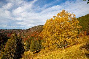 Birke am Menzenschwander Geißenpfad im Herbst von Alexander Wolff