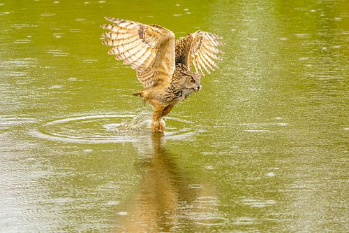 Een Oehoe hangt met gespreide vleugels boven een groen meer met reflectie in het water.