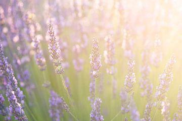 Lavendel van Elles Rijsdijk
