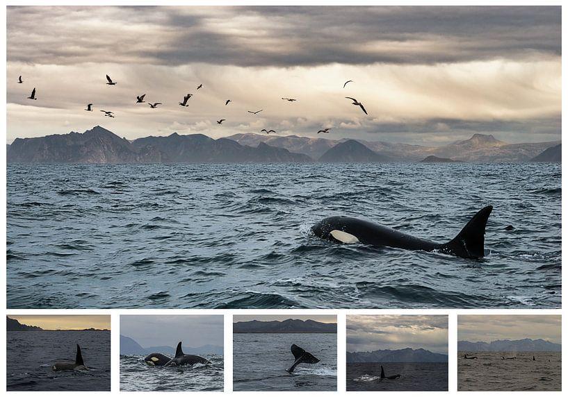Orca Collage von Stephan Smit