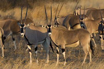 Oryx van Gerwin Hoogsteen