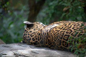 Fauler Panther