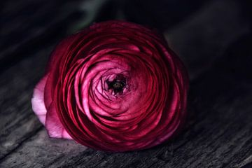 dark red velvet von Claudia Moeckel