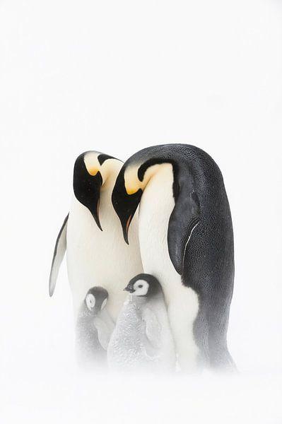 Keizerspinguïn (Aptenodytes forsteri) familieportret van Nature in Stock