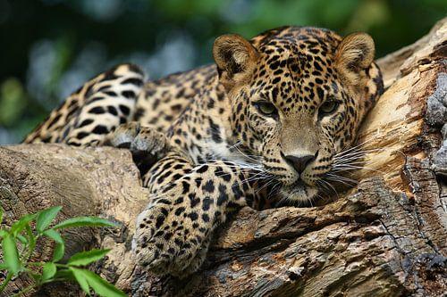 Jaguar van