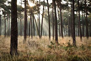 Ochtendzon tussen de bomen