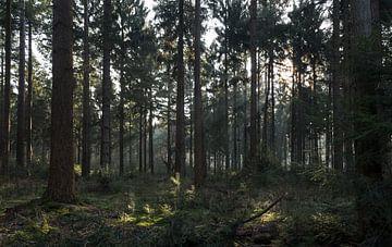 Zon schijn door de bomen in Lage Vuursche