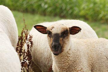Neugieriges Schaf von Anja Bagunk