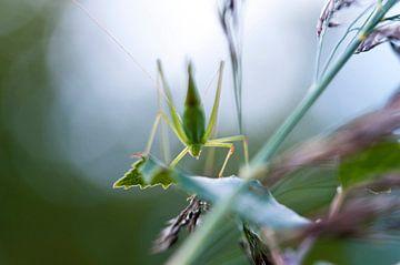 Grasshopper in Spring van