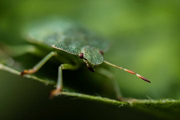 Die Grünschalenwanze von Jorn Veen