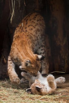 kleines süßes, sehr kleines Luchskätzchen, das auf dem Rücken liegt und mit seiner Mutter spielt - e von Michael Semenov