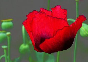 Roter Mohn von Caroline Lichthart