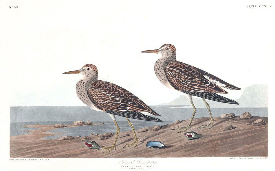 Gestreepte Strandloper van Birds of America