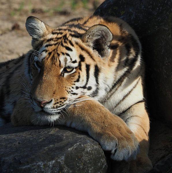 Schöner sibirischer Tiger von Eye to Eye Xperience By Mris & Fred