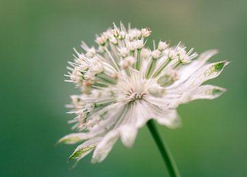 Witte bloem van Mirjam Brozius