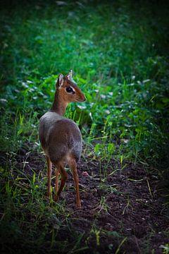 In het smaragdgras Kirk's dijk-dik - is een kleine antilope inheems in Oost-Afrika op een groene ach van Michael Semenov