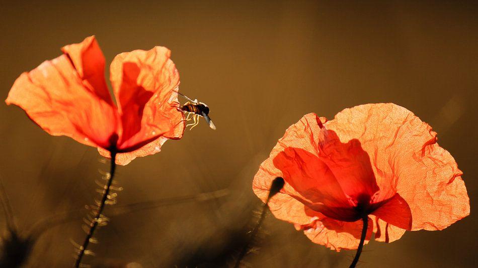Illuminated Poppies