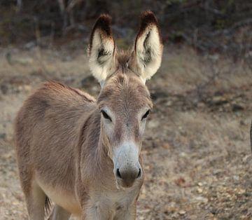 Wildes Esel auf Bonaire. von Silvia Weenink