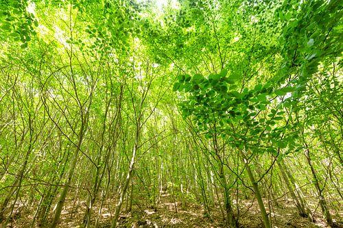 Grüner Buchen Wald im Frühling