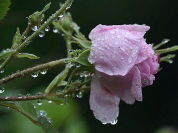 Na de regen - roze rood van Christine Nöhmeier