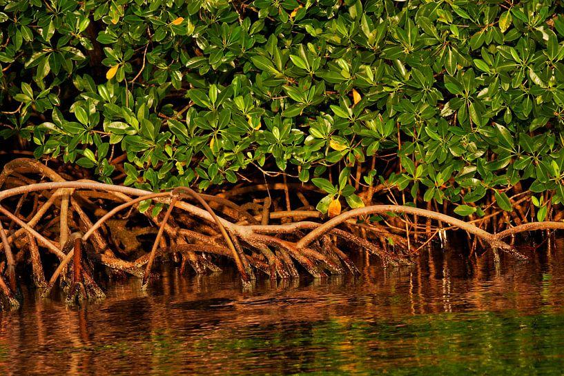Mangrove wortels in de rivier Rio Grande van Nature in Stock