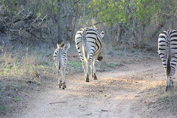 Zebra's von Wim Franssen