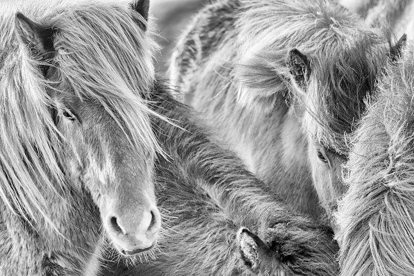 Samheldni van Islandpferde  | IJslandse paarden | Icelandic horses
