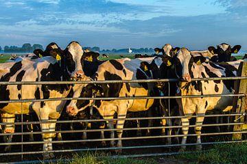 Koeien achter het hek van René Groenendijk