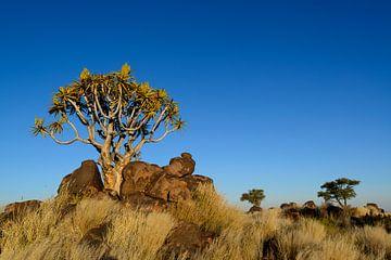 Kokerboom in Namibië van Denis Feiner
